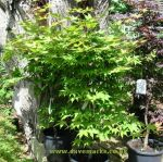 Japanese Maple (acer palmatum) picture. Click to enlarge.