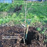 Bark mulch around a newly palnted apple tree