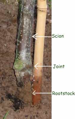 picture of apple tree main stem