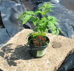Tomato plant in a pot. Click picture to enlarge.