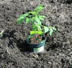 Tomato plant in the ground. Click to enlarge.