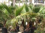 Washingtonia robusta tree picture