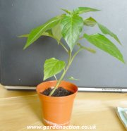 Sweet pepper ready for potting-up
