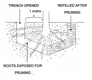 Root pruning fruit trees