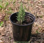A rosemary cutting in a pot