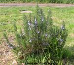 A rosemary plant used for cuttings