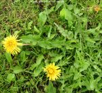 Picture of dandelion weed
