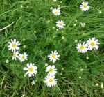 Picture of Mayweed