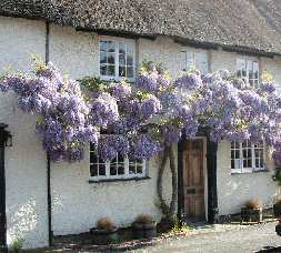 Wisteria pruning picture, click to enlarge.